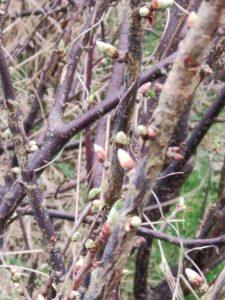 blackcurrant bush on my allotment